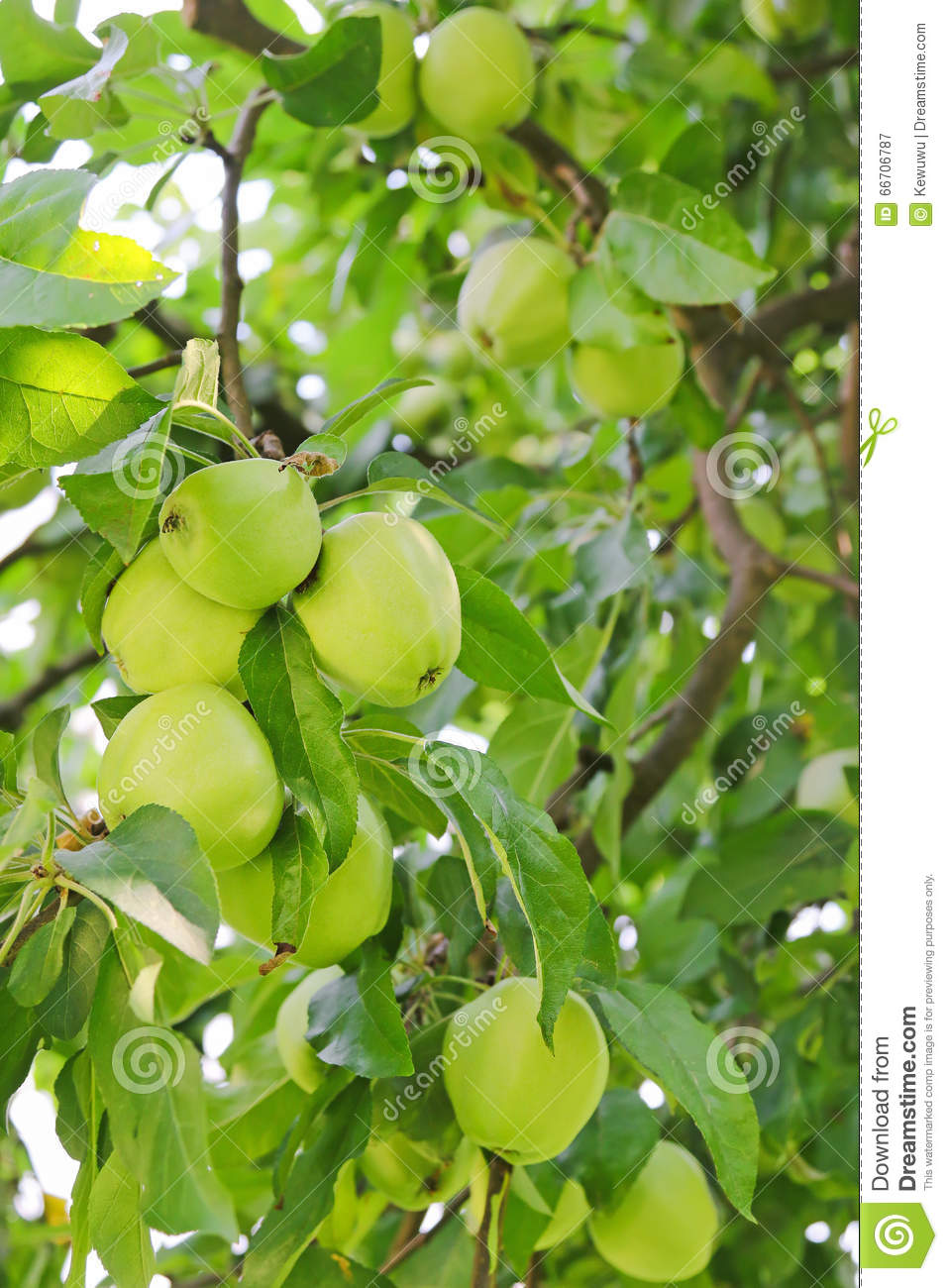 green apple fruit tree. royalty-free stock photo. download organic green apple tree with fruit r