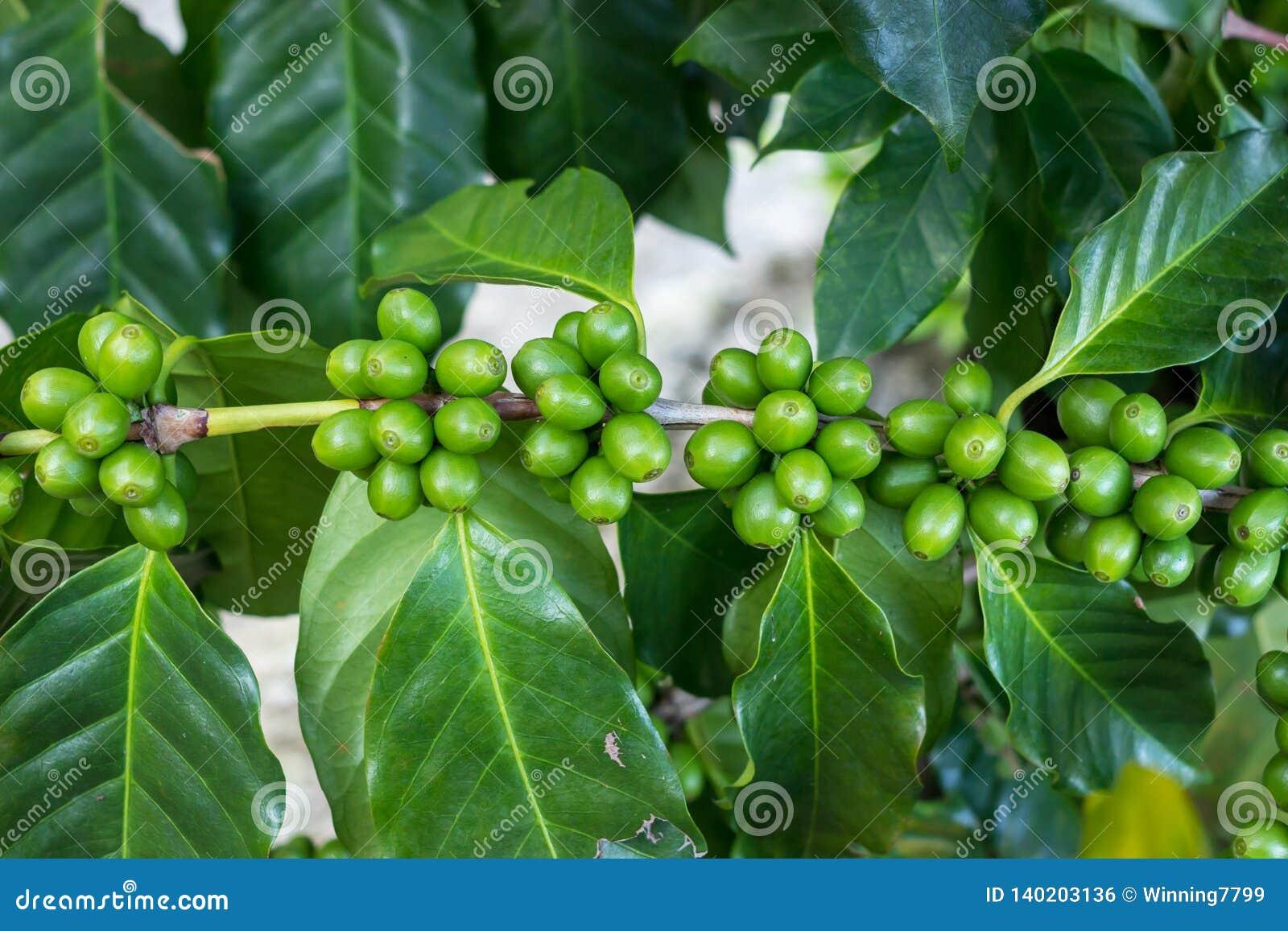 Organic Green Coffee Cherry Beans On Tree Stock Photo Image Of