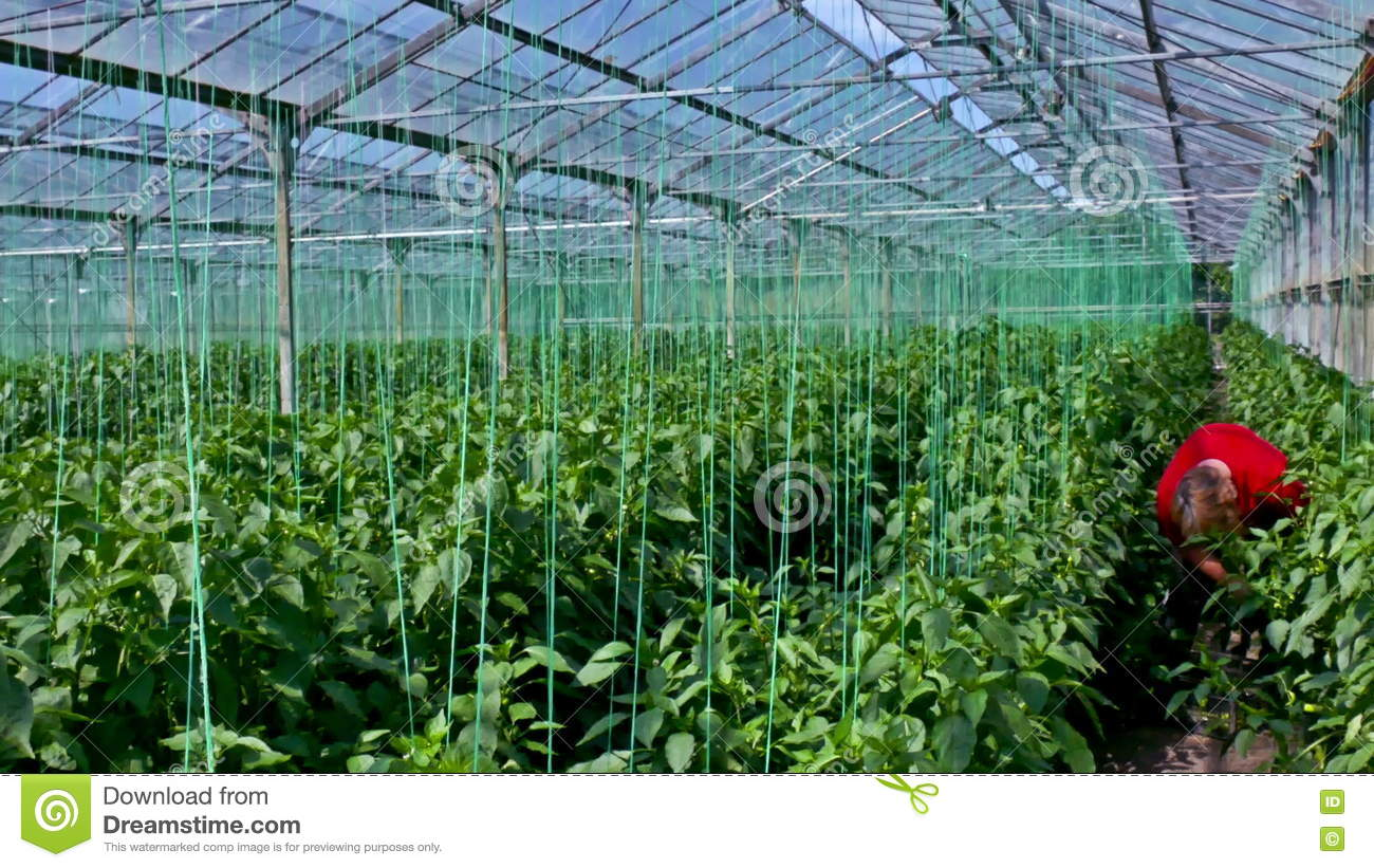 Organic Production Of Vegetables In Greenhouse Stock Footage ...