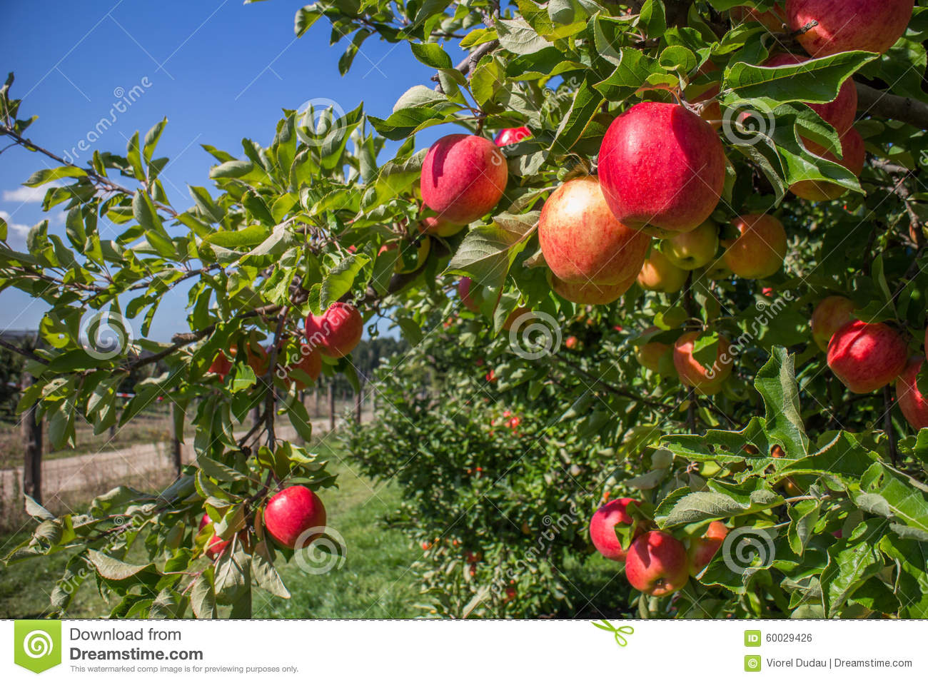 Organic red apples in apple orchard