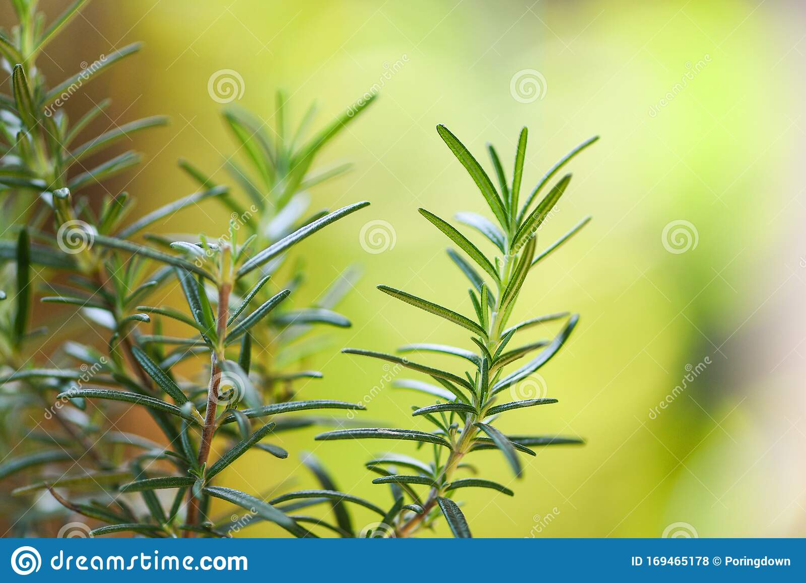 Organic Rosemary Plant Growing In The Garden For Extracts