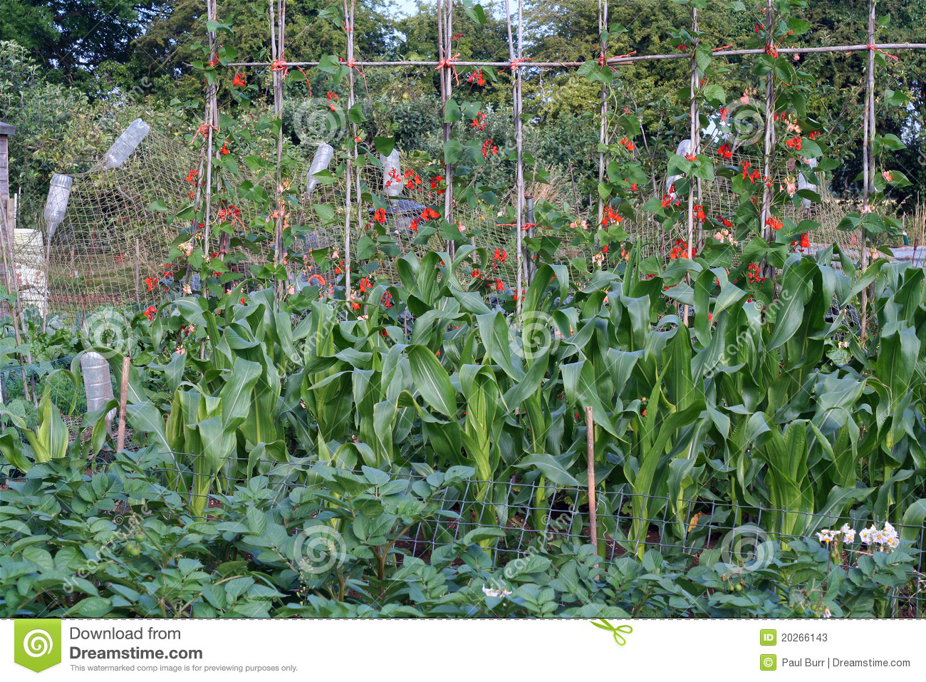 Organic vegetable garden. stock image. Image of poles ...