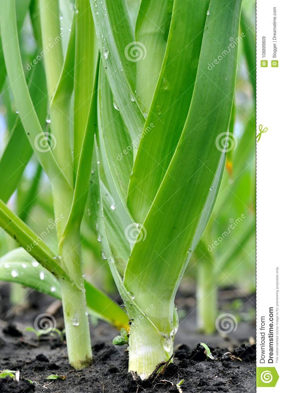 Organically cultivated leek plantation in the vegetable garden