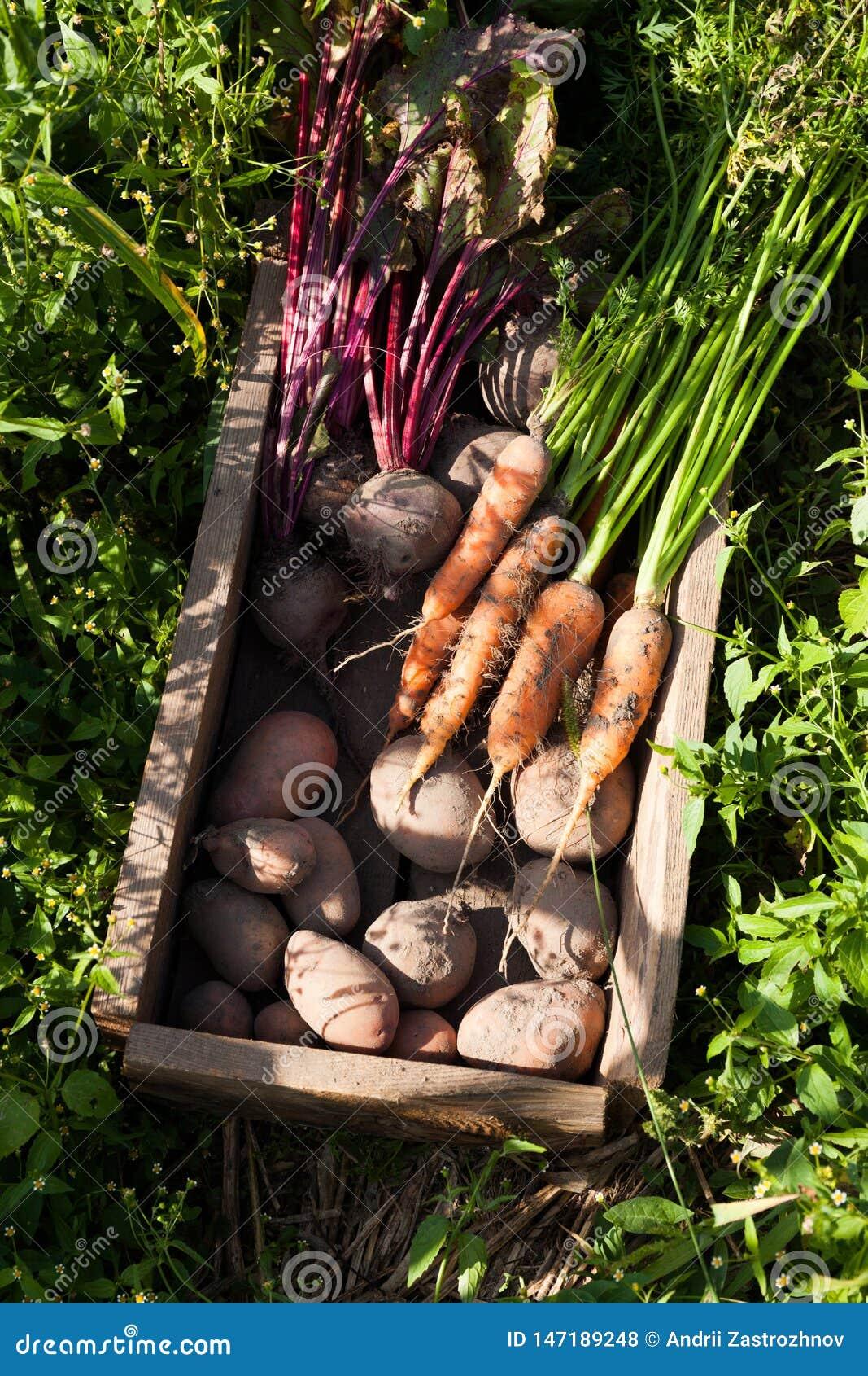 Organicznie jarzynowy koszykowy żniwo, jesieni rolnictwa jedzenie