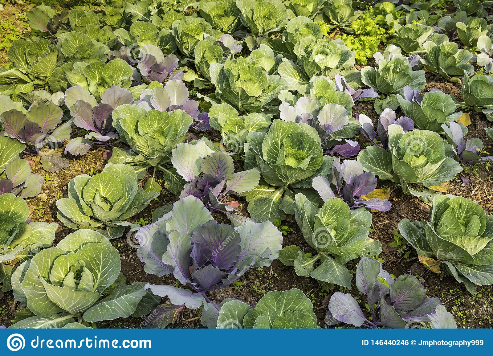 Organicznie kapusty gospodarstwa rolnego POKHARA NEPAL zieleni tło