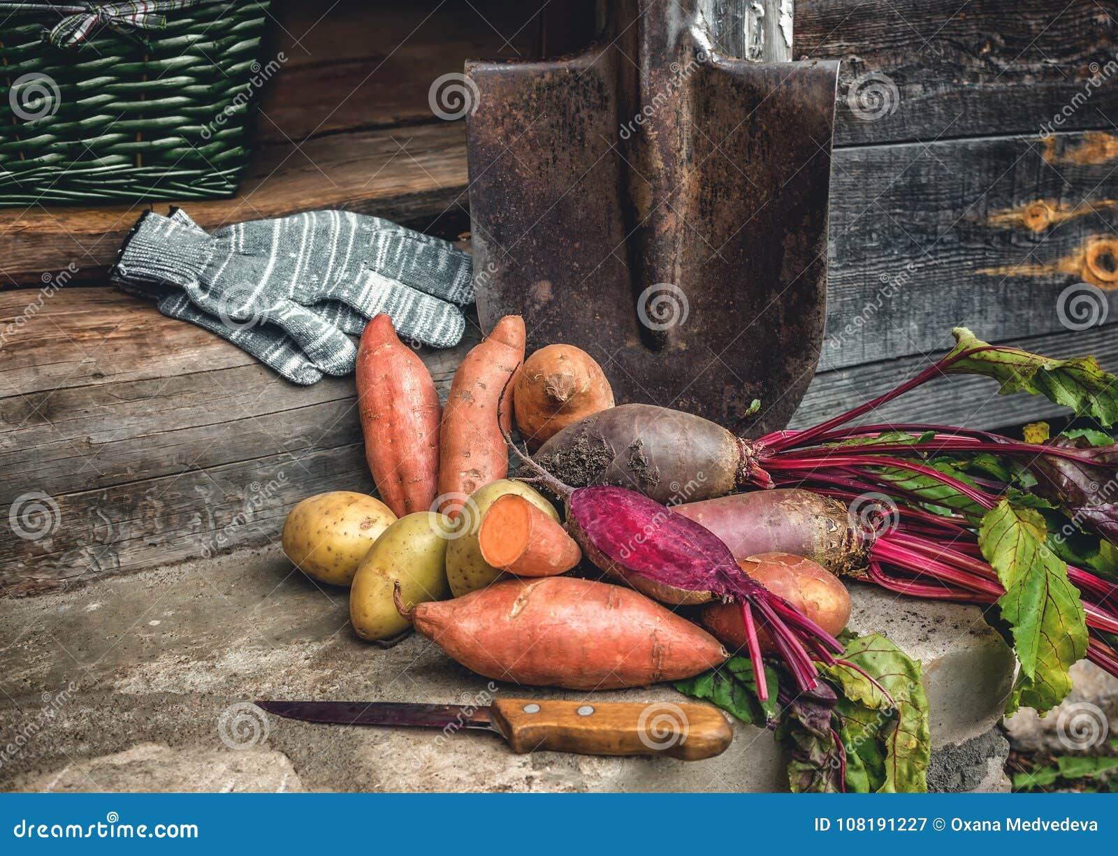 Organicznie korzeniowi warzywa i prosty batata lying on the beach na prostackim płótnie i rydlu słuzyć wioskę Jesieni żniwa kopia