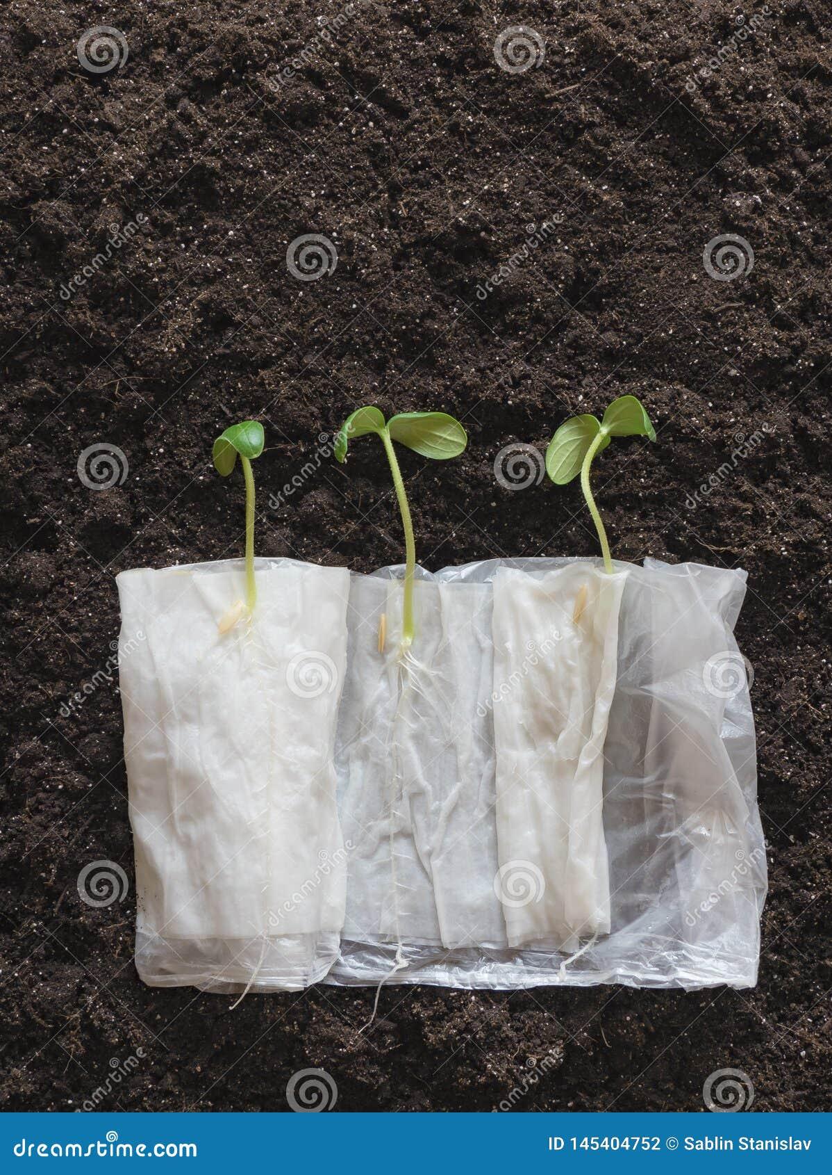 Organicznie nasieniodajny kiełkowanie bez ziemi