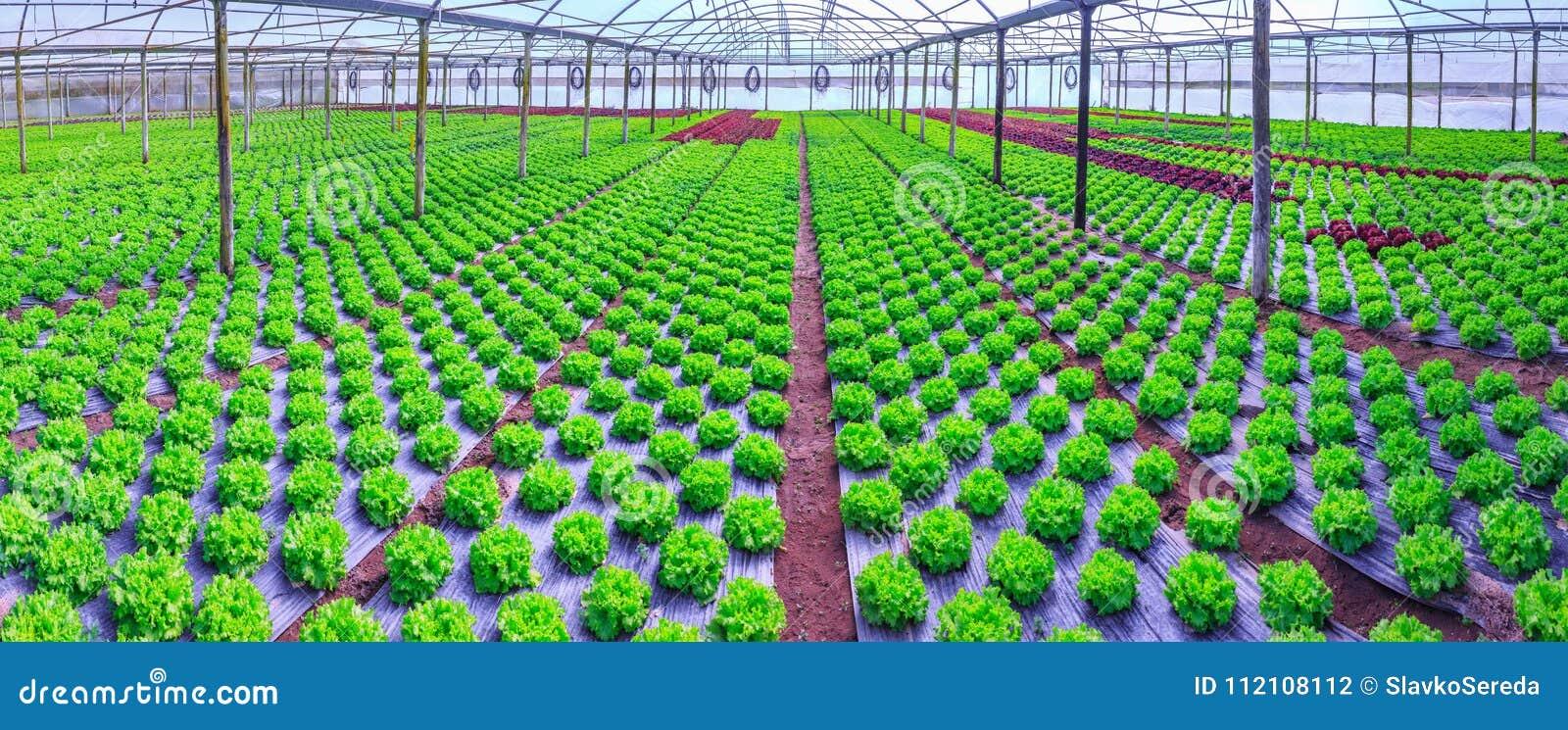 Organische groene van de slainstallaties of salade groentecultuur in r