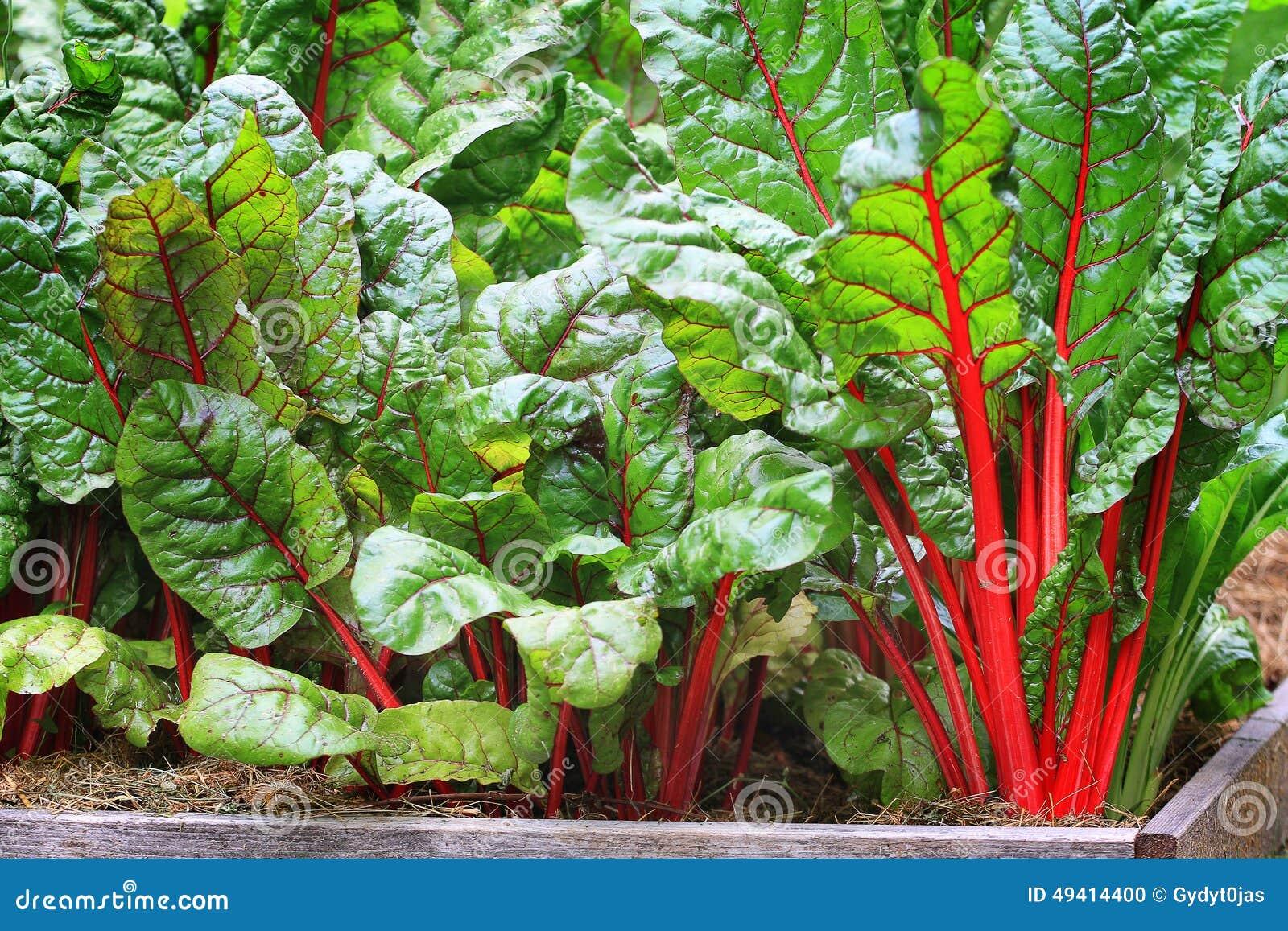 Download Organische Mange stockfoto. Bild von gesund, pink, garten - 49414400