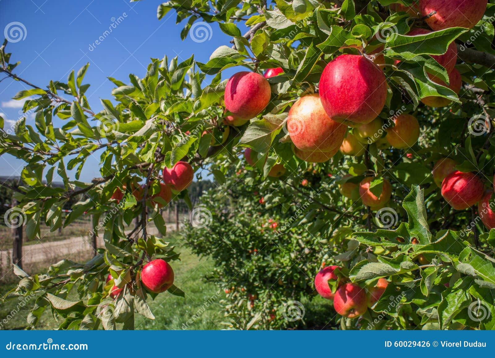 Organische rode appelen in boomgaard