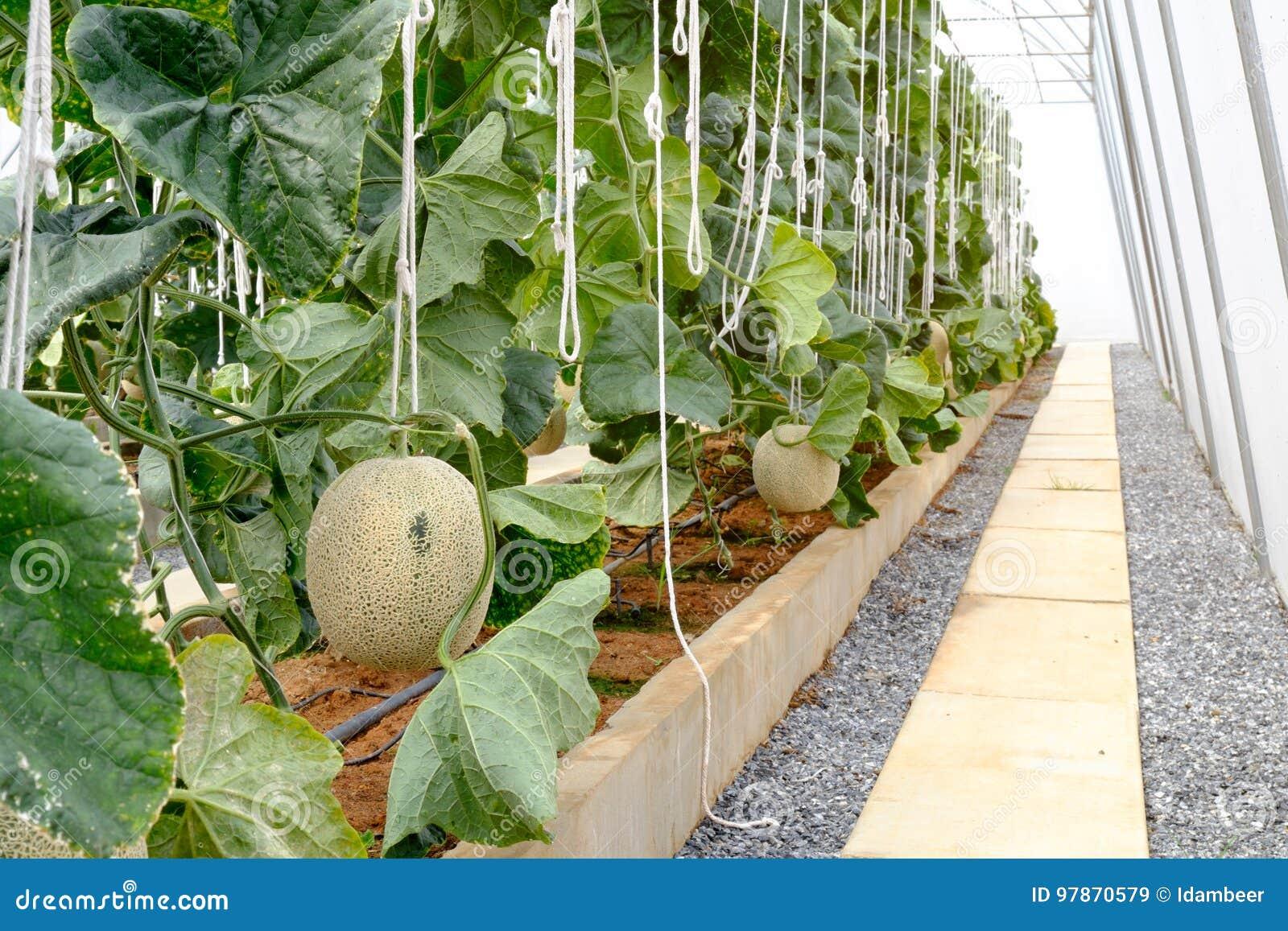 Organischer melonenbauernhof stockbild bild von - Bauernhof garten ...