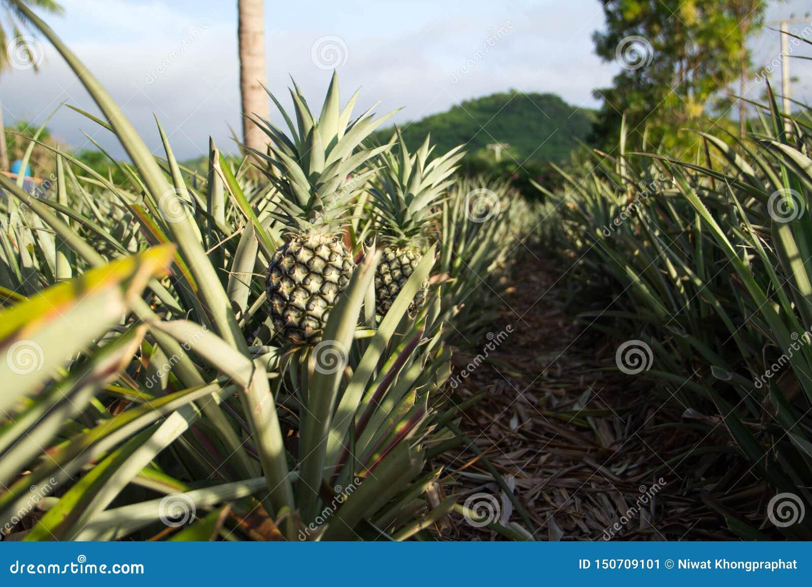 Organiska ananasträdgård och berg