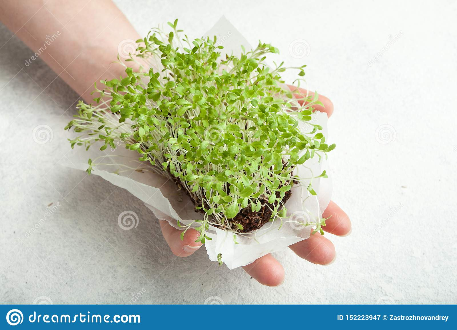 Organiska groddar av spirat frö i en hand på en vit bakgrund