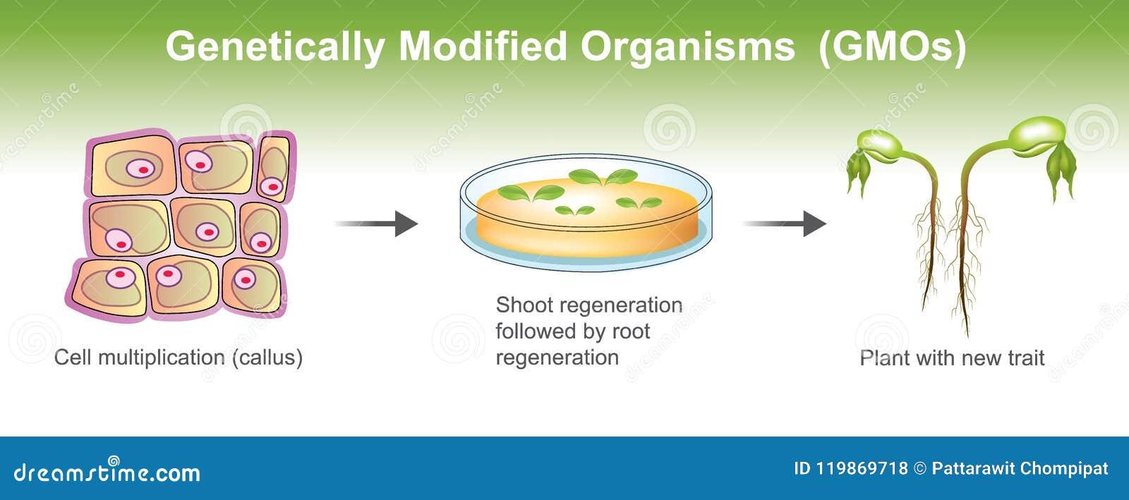Organismos genético modificados