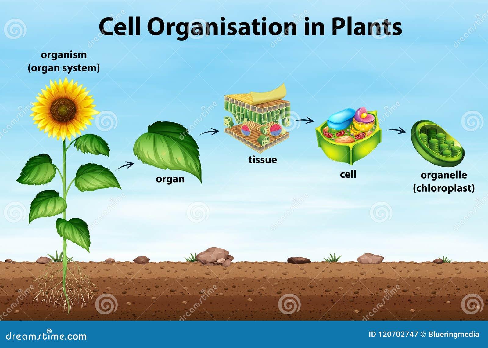 Organización de la célula en plantas