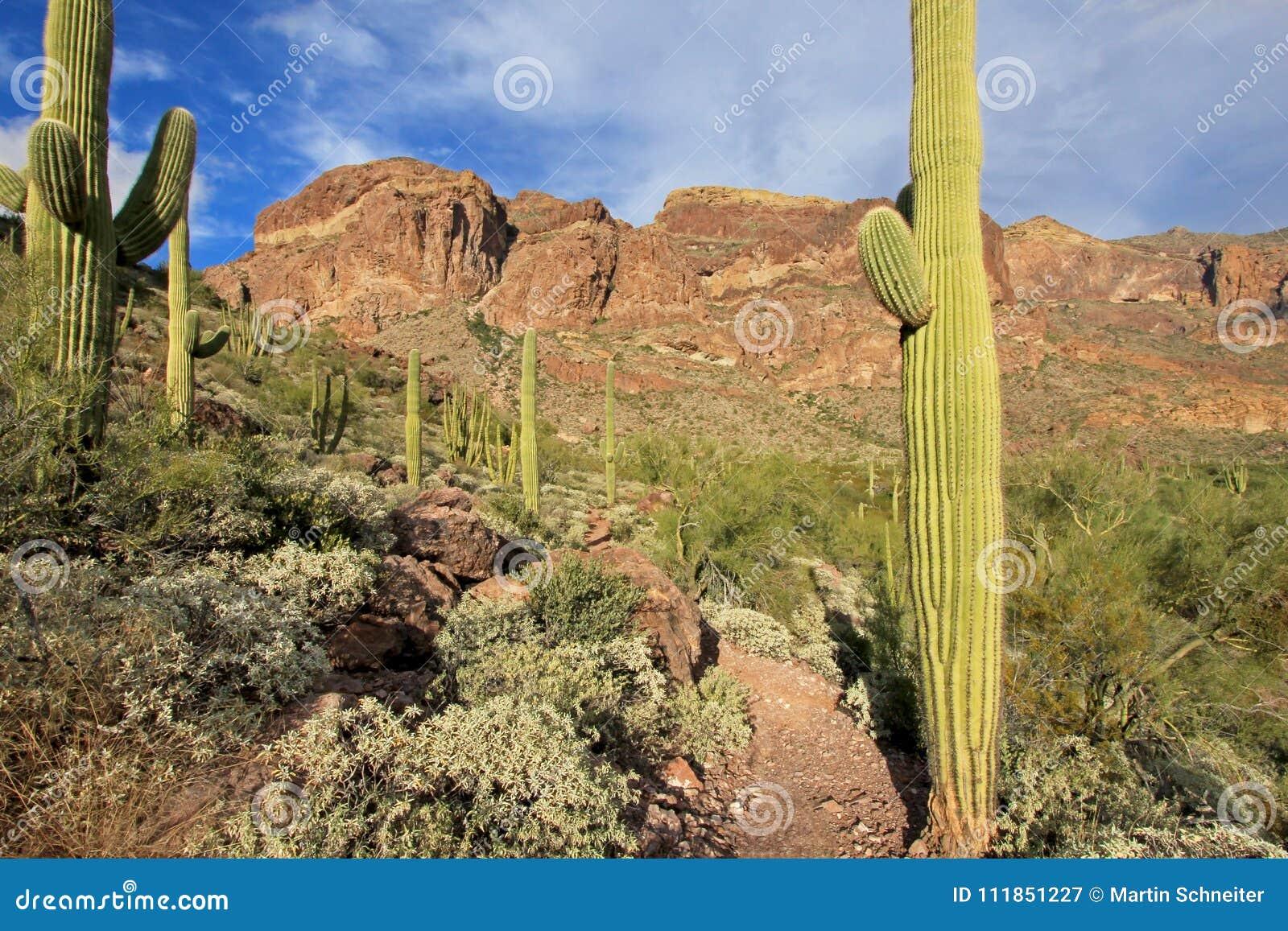 Organowej drymby i Saguaro kaktusy w Organowej drymby Kaktusowym Krajowym zabytku, Arizona, usa