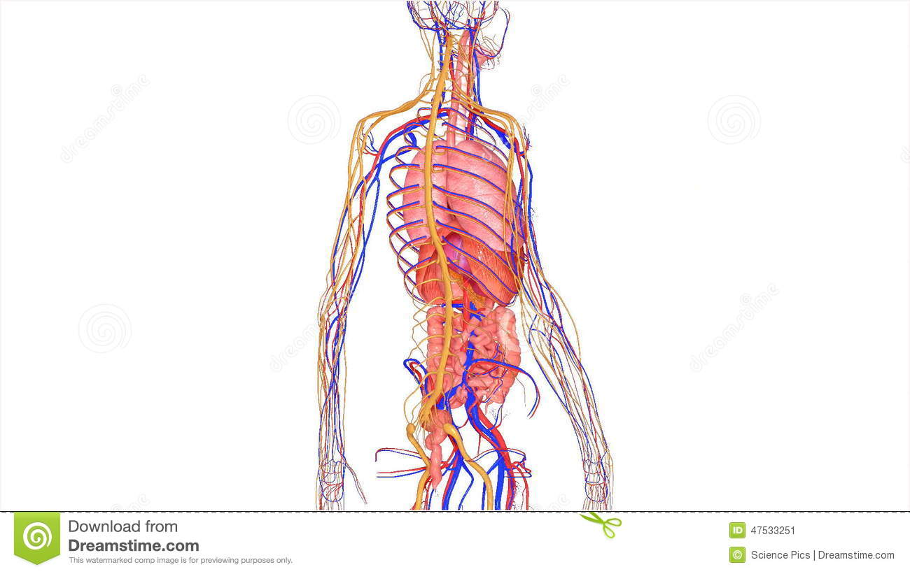 Organs With Circulatory System Stock Video Video Of Arteries