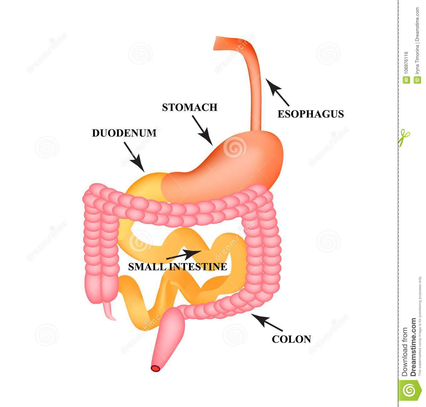 Organs of the gastrointestinal tract. Esophagus, stomach, duodenum, small intestine, colon. Digestion. Infographics. Vector