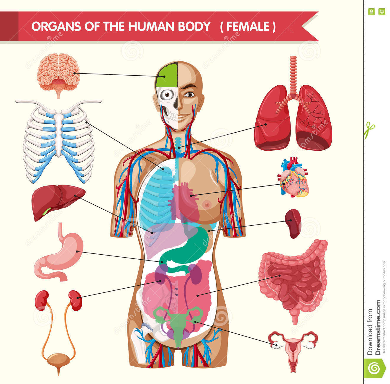 Organs Of The Human Body Diagram Stock Vector Illustration Of