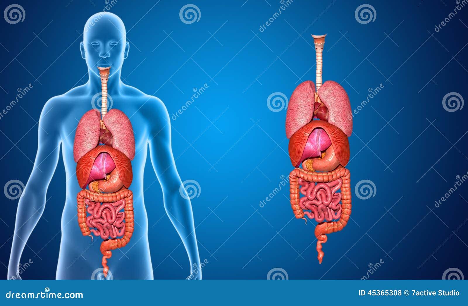 Organs Stock Illustration Illustration Of Appendix Bile 45365308