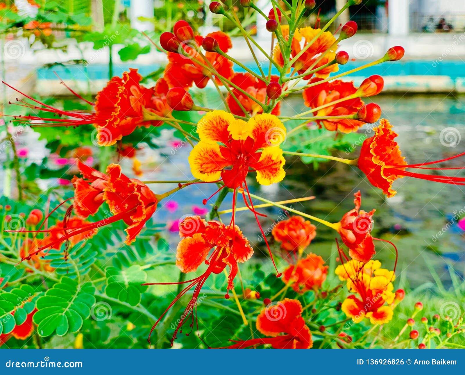 Orgulho de Barbados, flor de pavão
