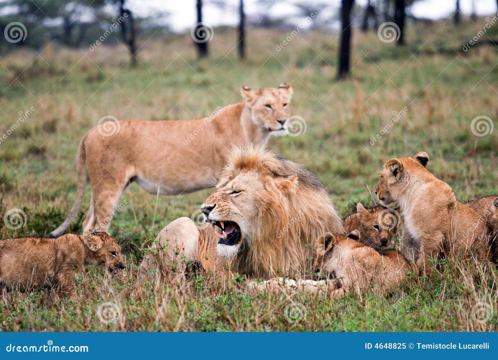 Orgulho do leão