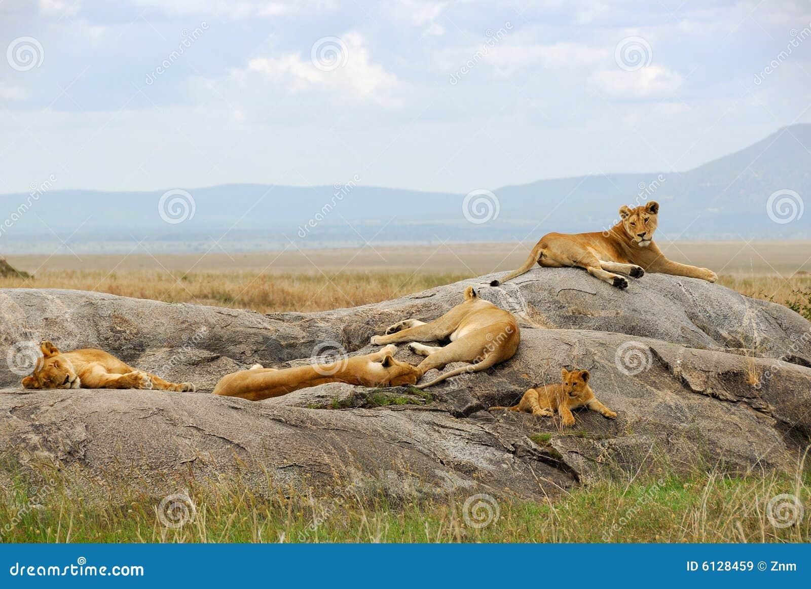 Orgulho dos leões