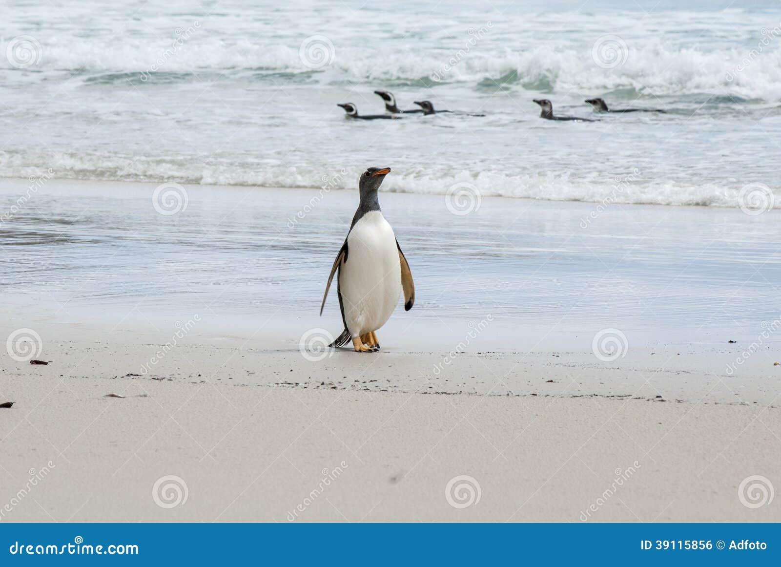 Orgulloso ser pingüino de Gentoo