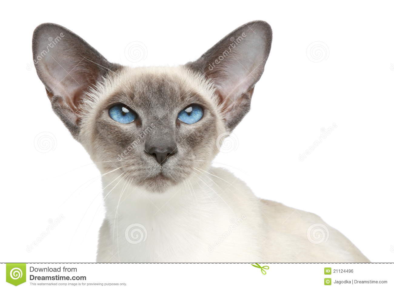 Oriental Blue-p... Free Clipart Of Siamese Cats