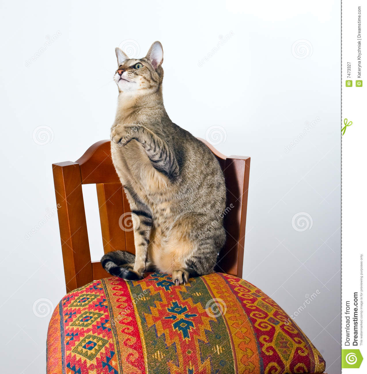 Oriental Cat Sitting On Chair Royalty Free Stock