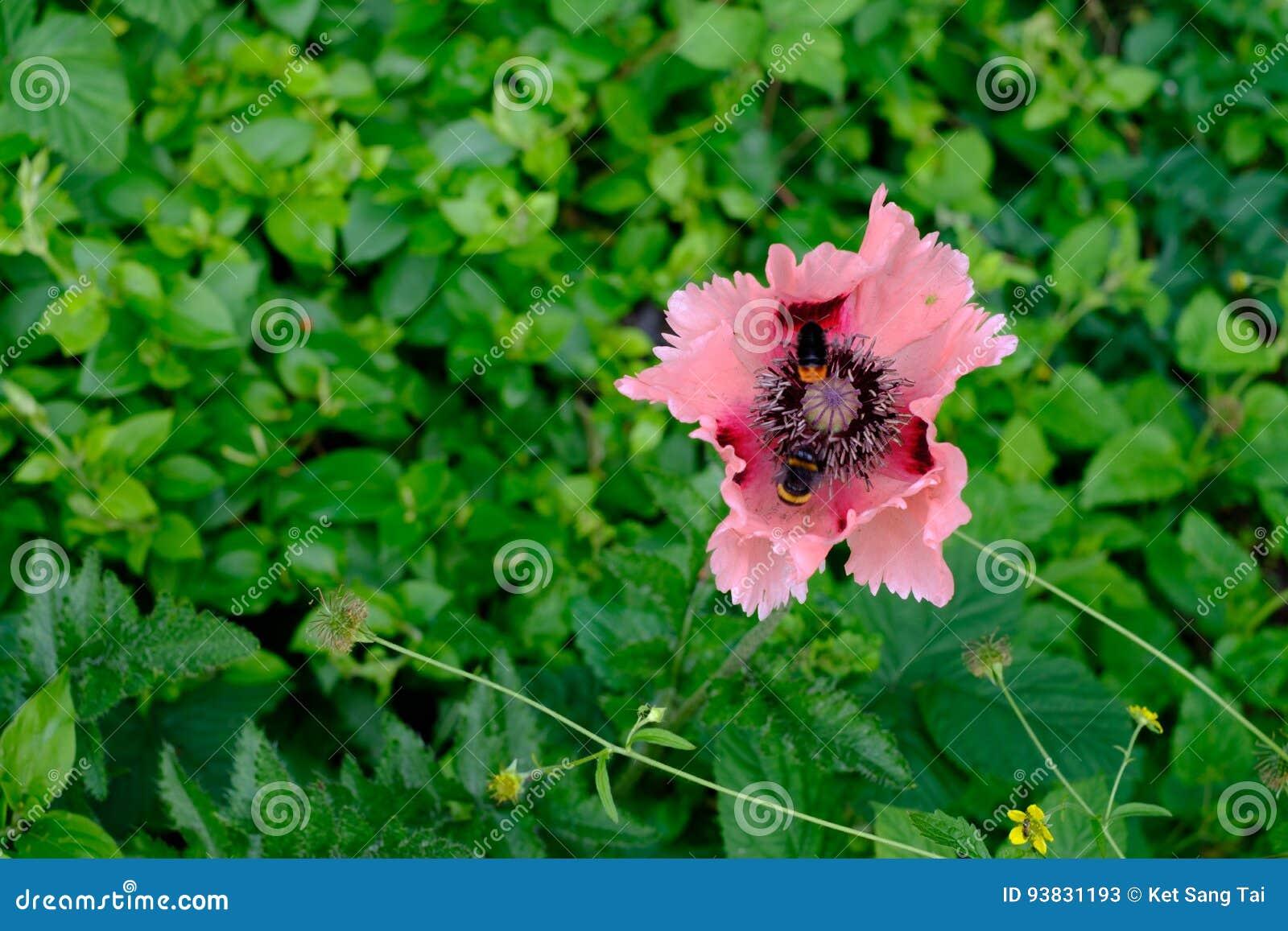 ` Oriental de Cedric Morris del ` de Poppy Papaver Orientale y dos abejas