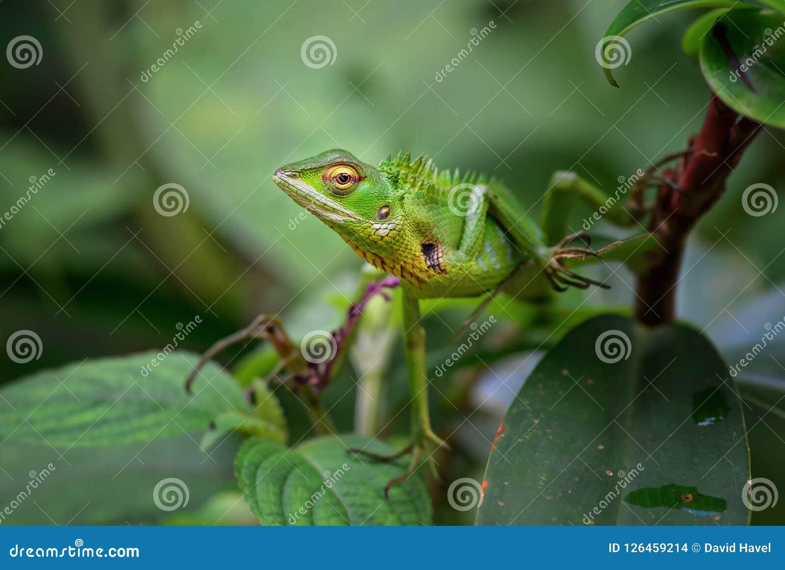Oriental Garden Lizard - Calotes versicolor