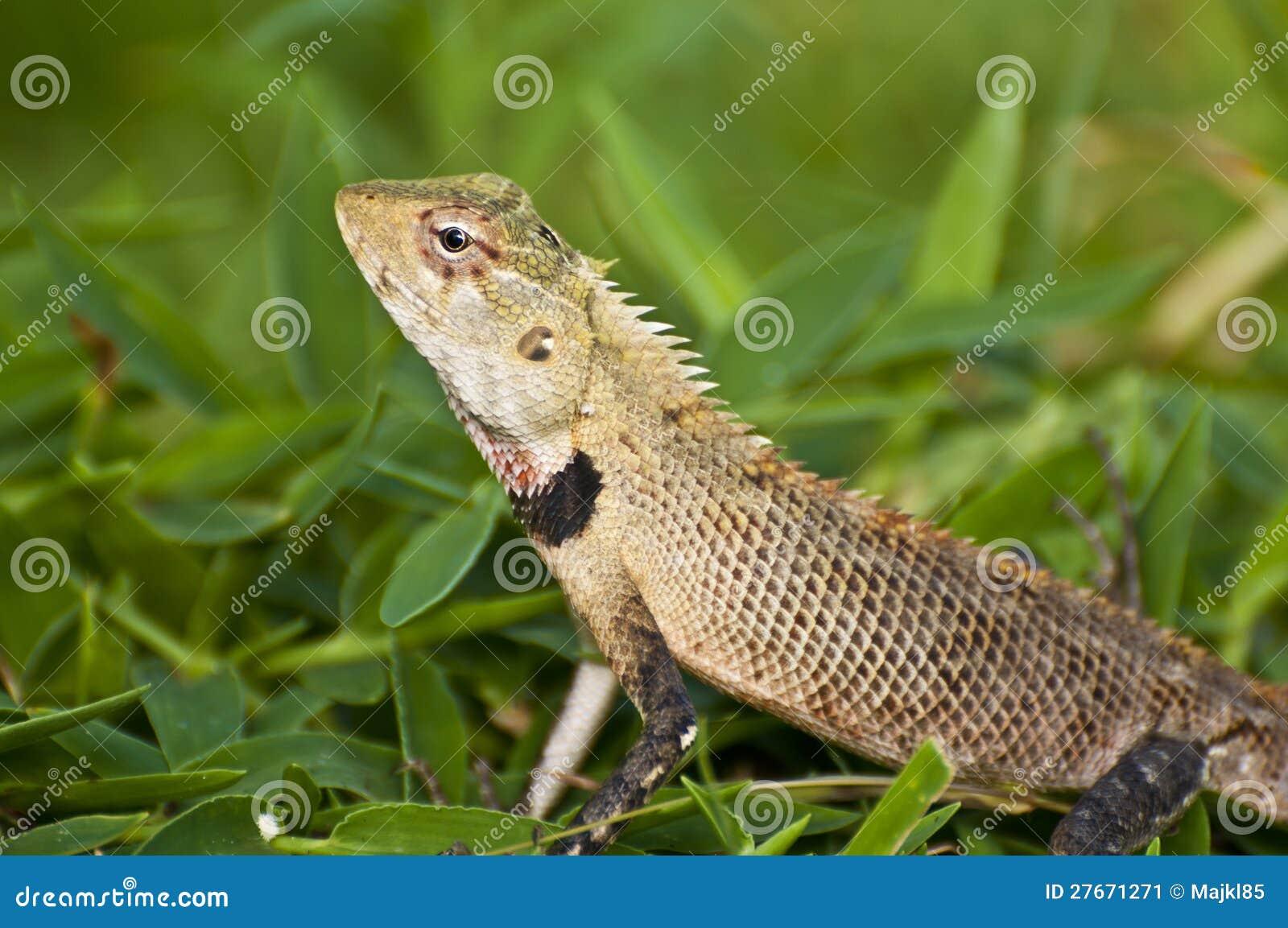 download oriental garden lizard female stock image image of wild grass 27671271 - Garden Lizard