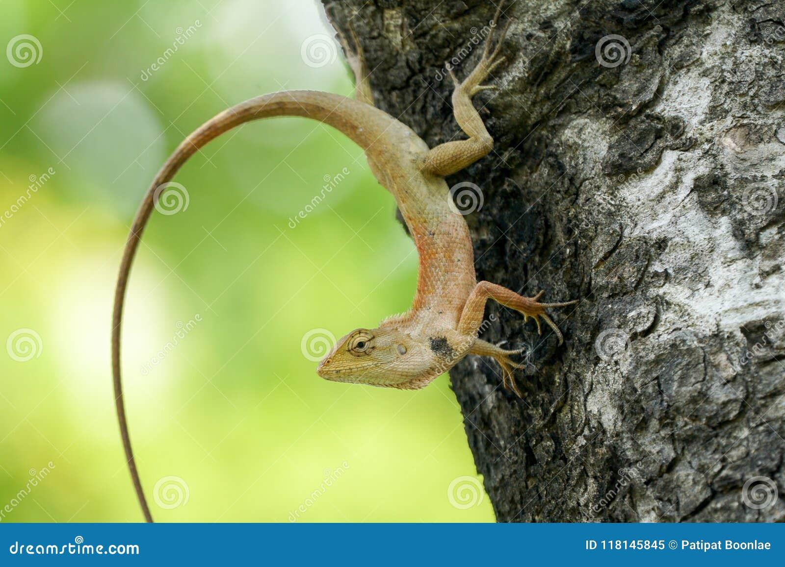 oriental garden lizard with its half orange body stock image