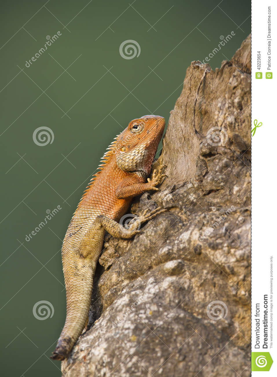Oriental Garden Lizard With Mutilated Tail Stock Photo - Image of ...