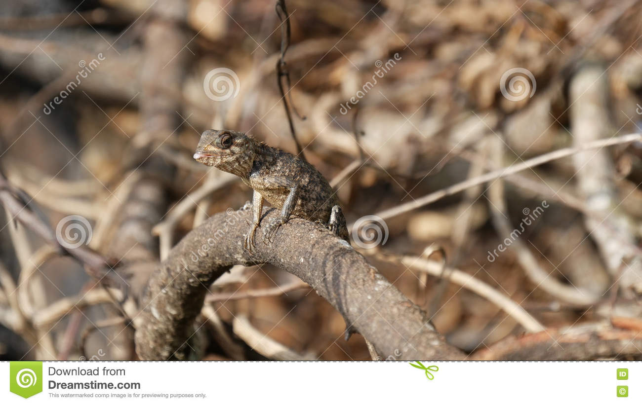 Oriental garden lizard stock image. Image of animal, garden - 74426037