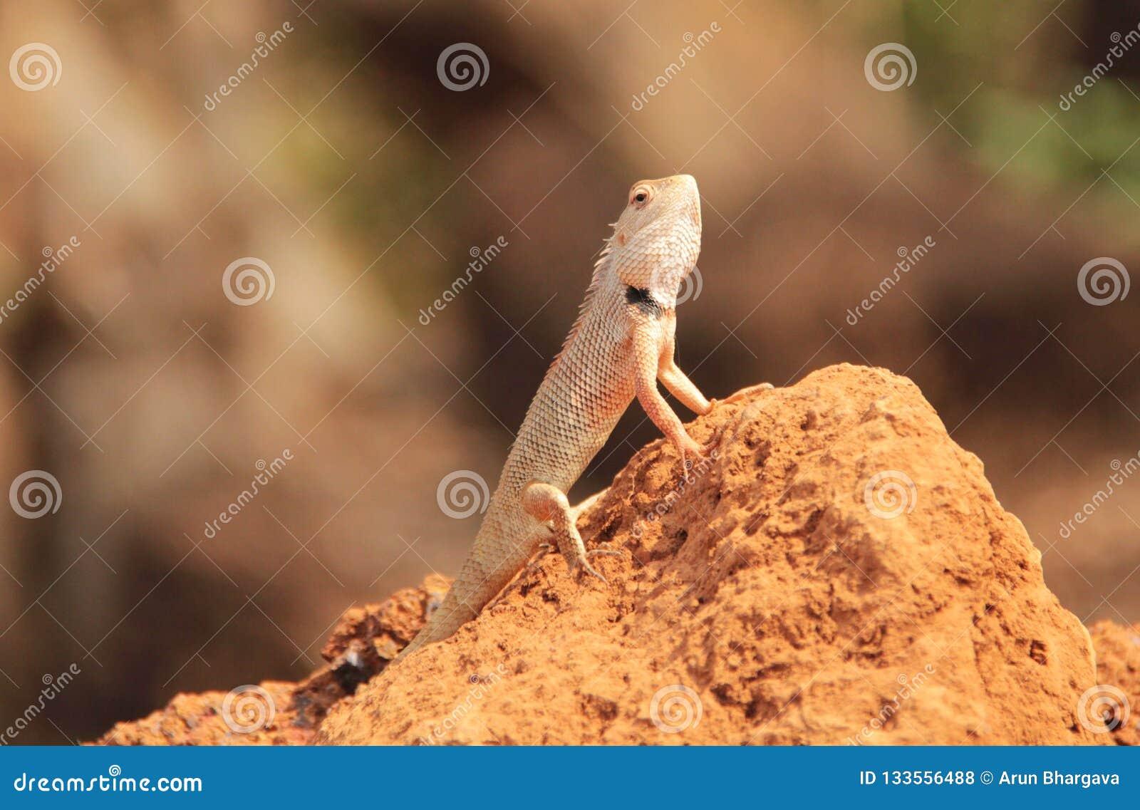 Oriental Garden Lizard in wild