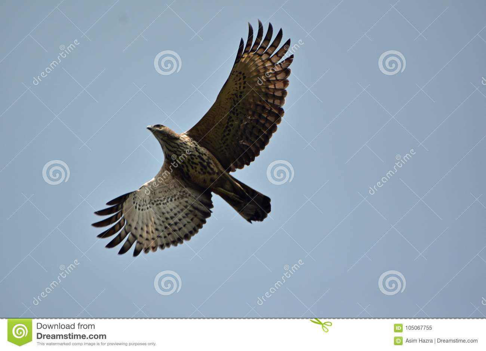 Oriental honey buzzard in flight