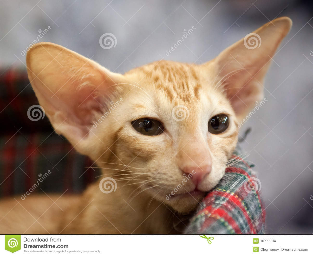 Oriental Shorthair Cat Stock Images Image 18777704