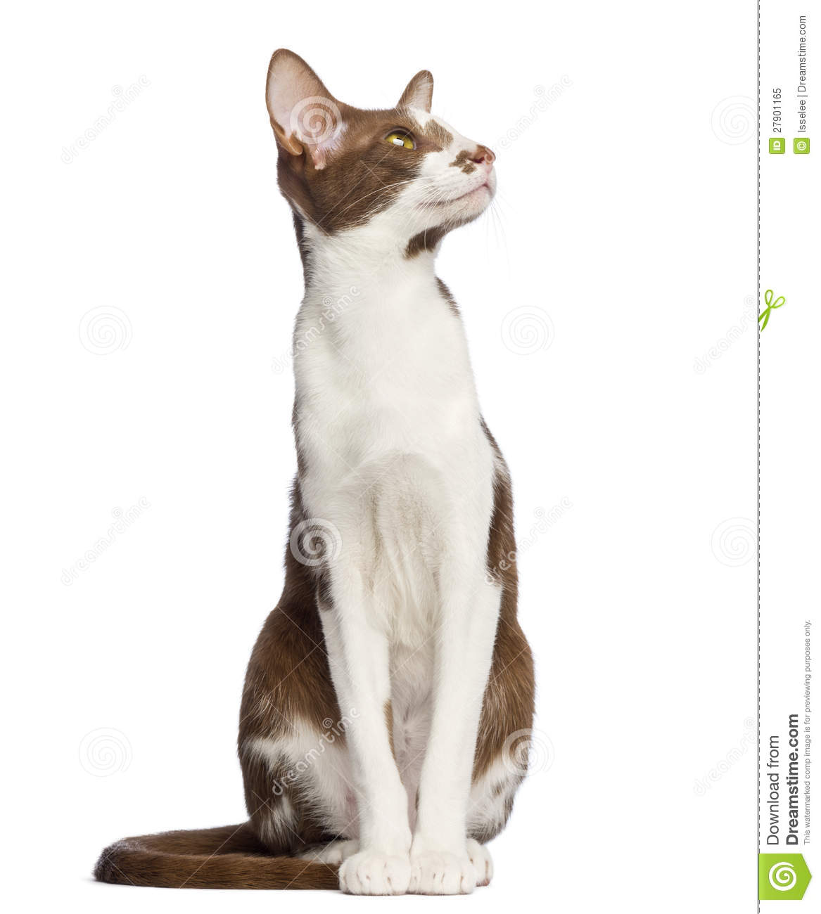 Oriental Shorthair Sitting And Looking Up Stock Image