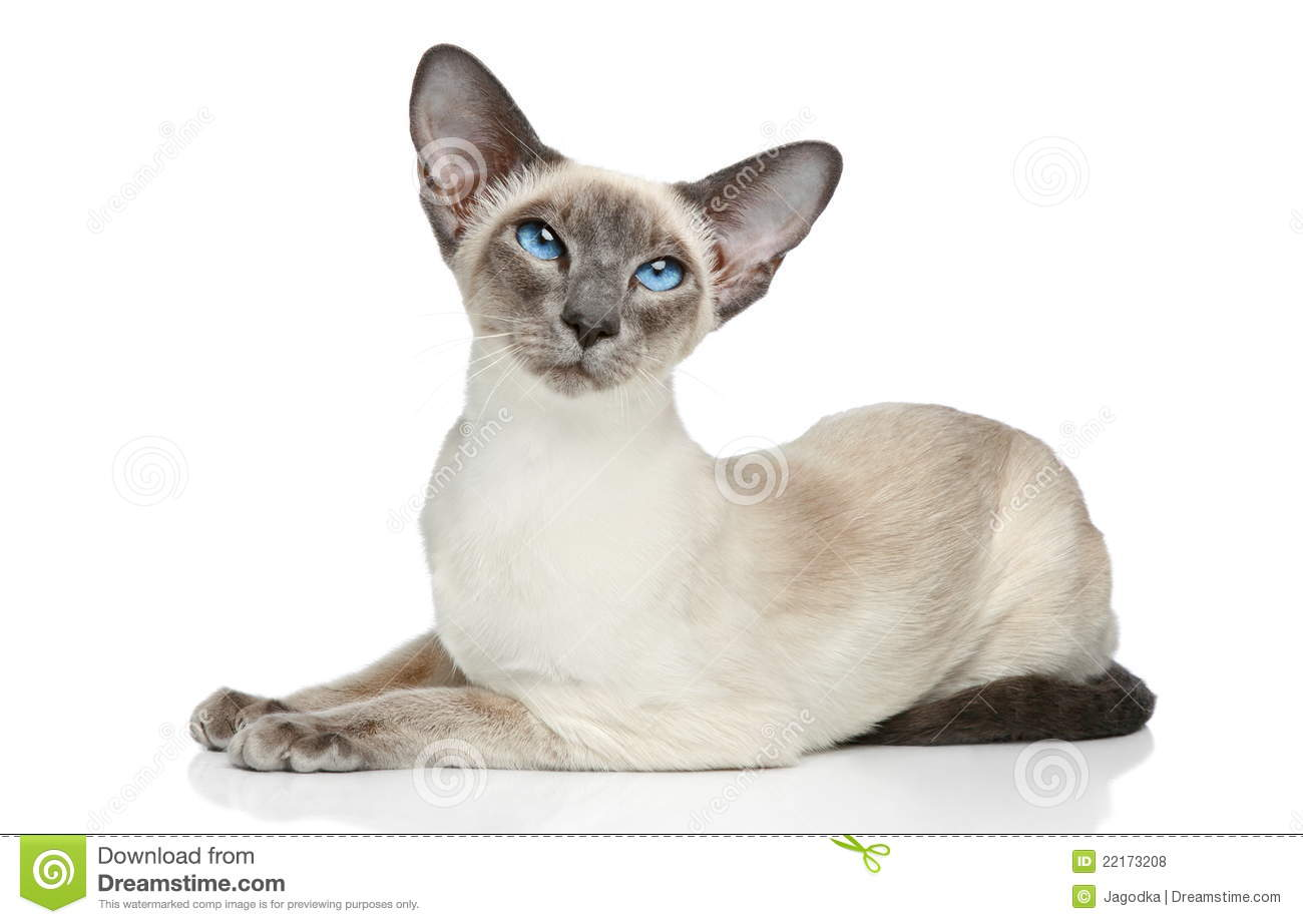 Oriental Siamese Cat Royalty Free Stock Photos - Image: 22173208