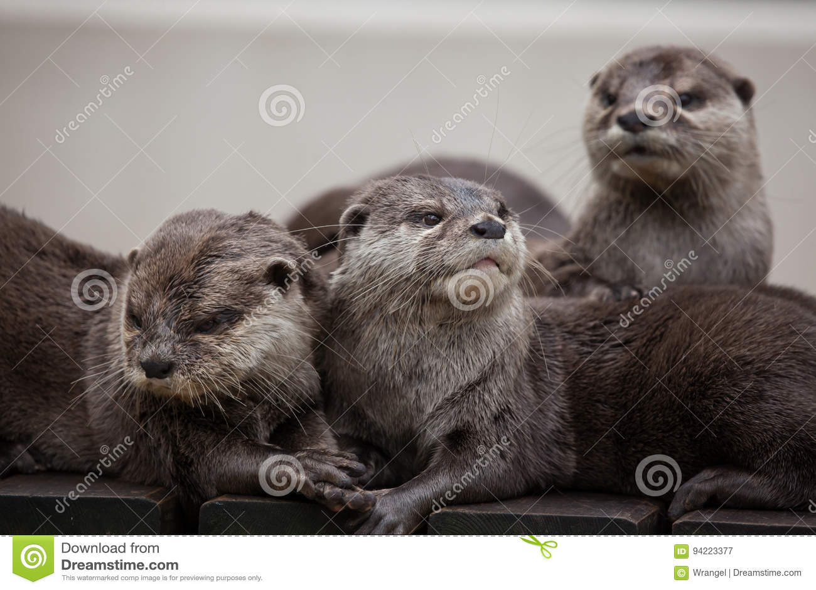 Oriental small-clawed otter Amblonyx cinereus