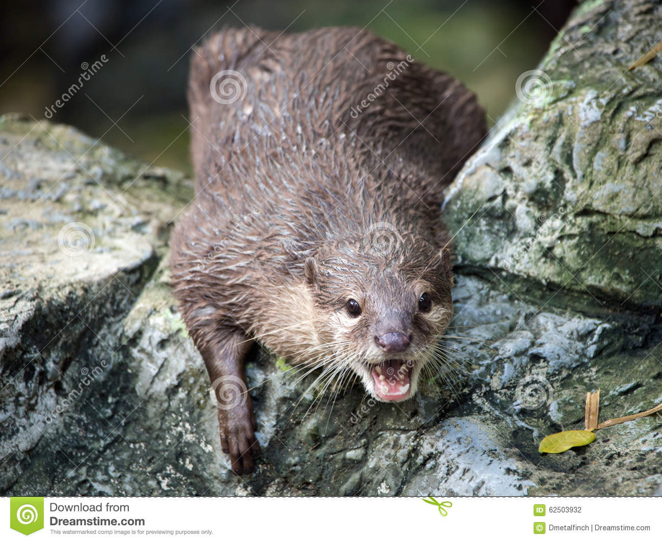 oriental small clawed otter Asian small-clawed otters for sale an overview of owning a asian small-clawed otter.
