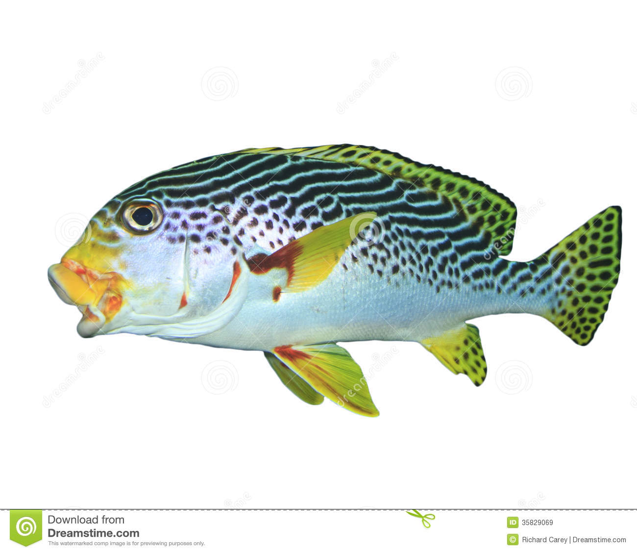 Oriental sweetlips fish isolated on white stock image for Sweet lips fish