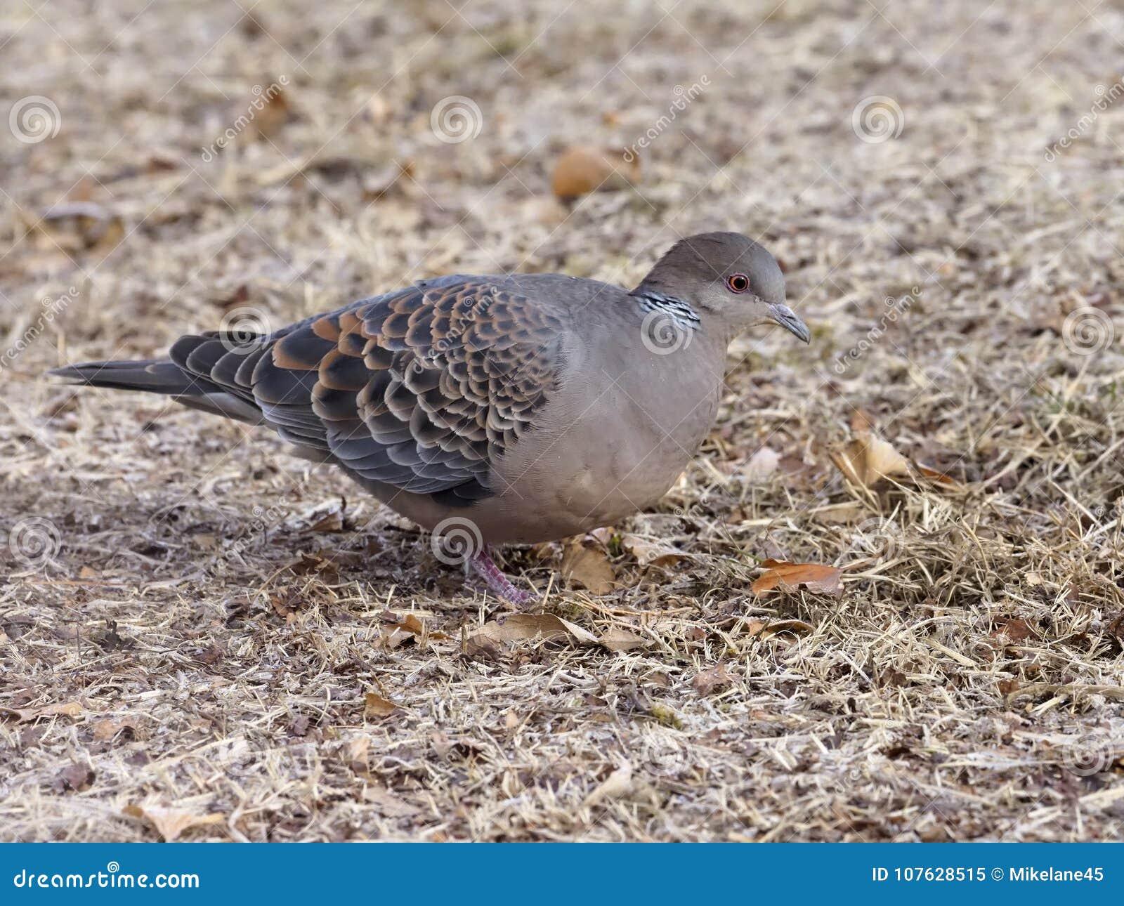 Oriental Turtle-dove, Streptopelia Orientalis Stock Image