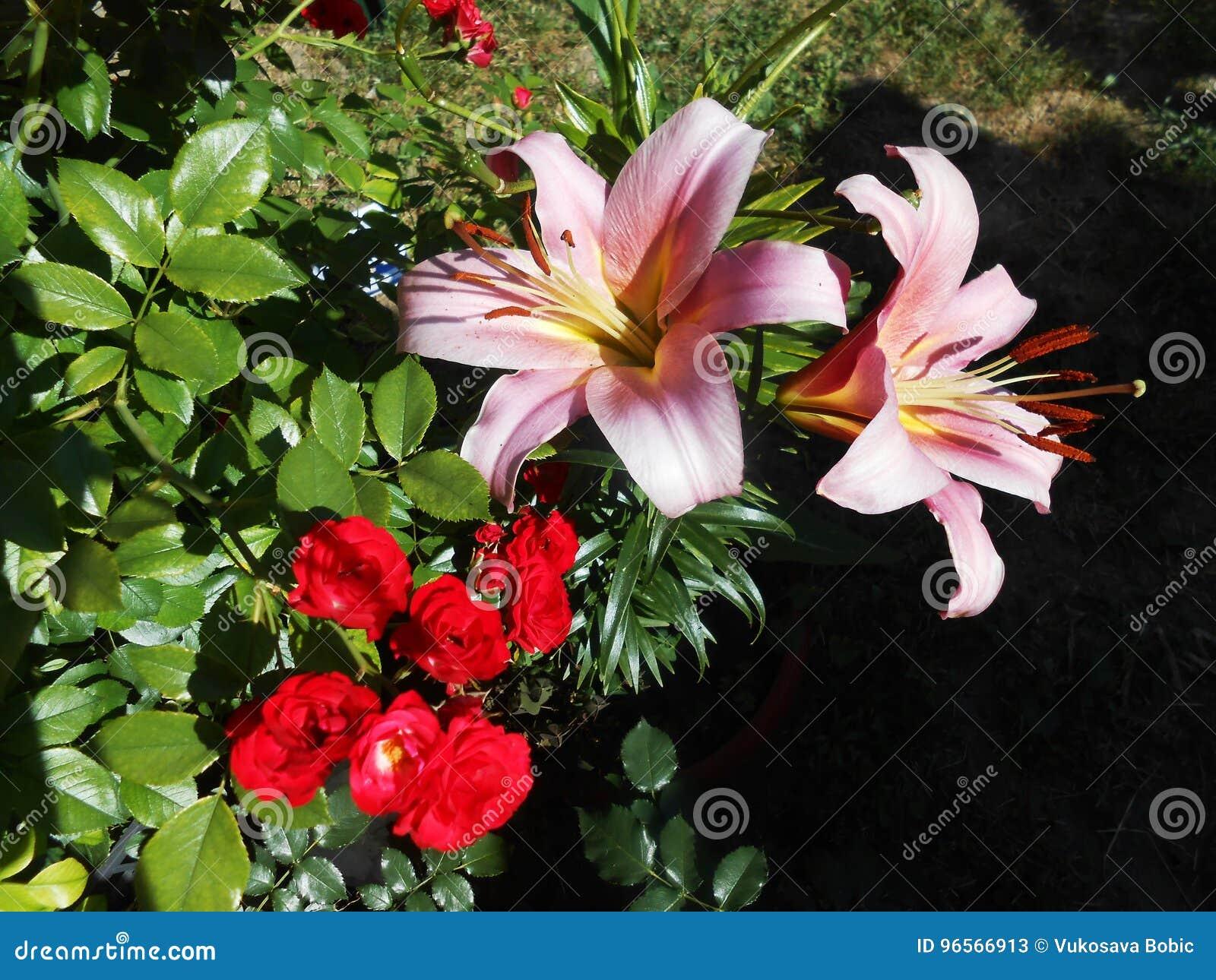 Orientaliska Liliumrosa färger