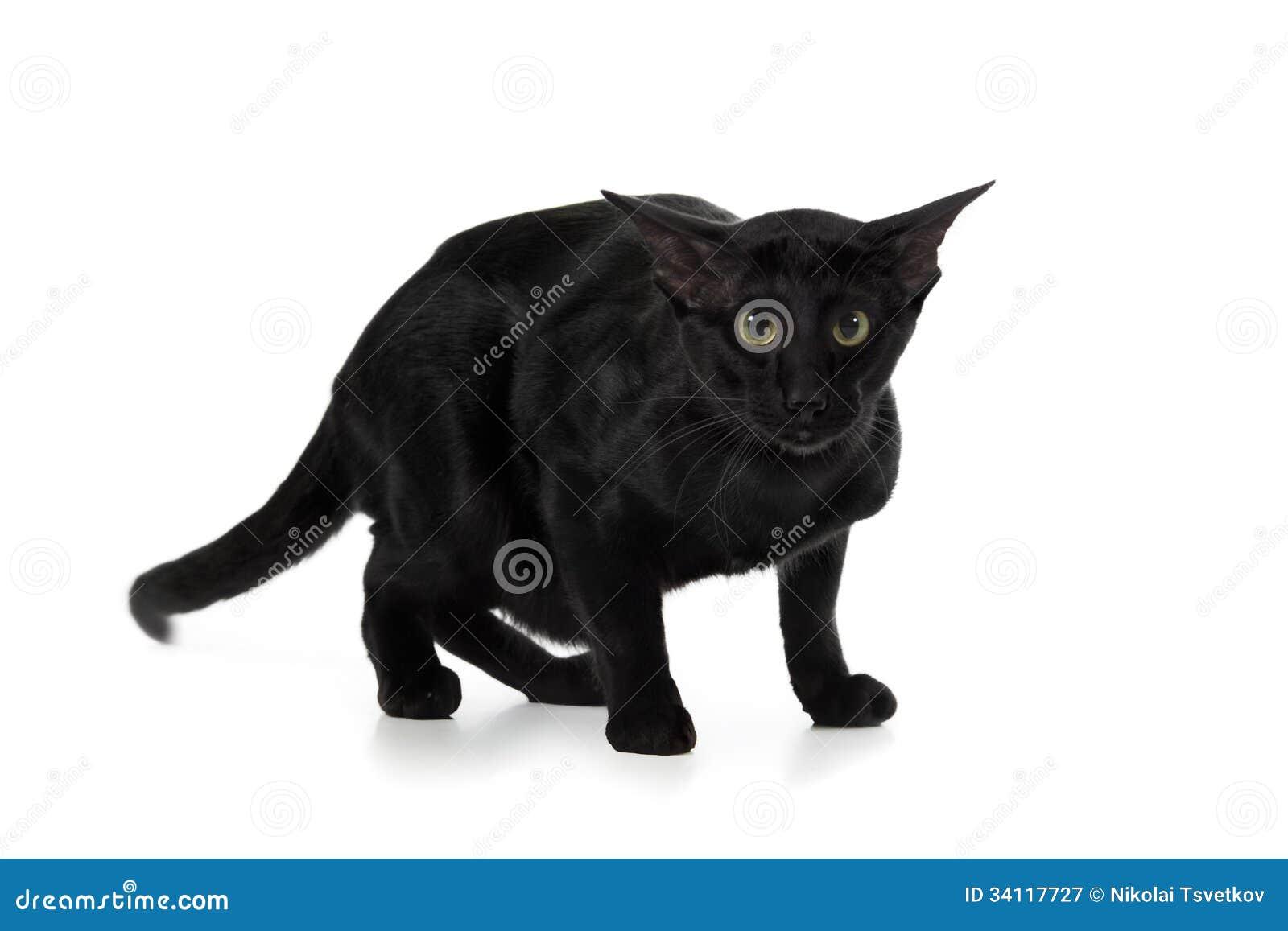 Orientalny Czarny Kot Obraz Stock Obraz Złożonej Z Zwierzę 34117727