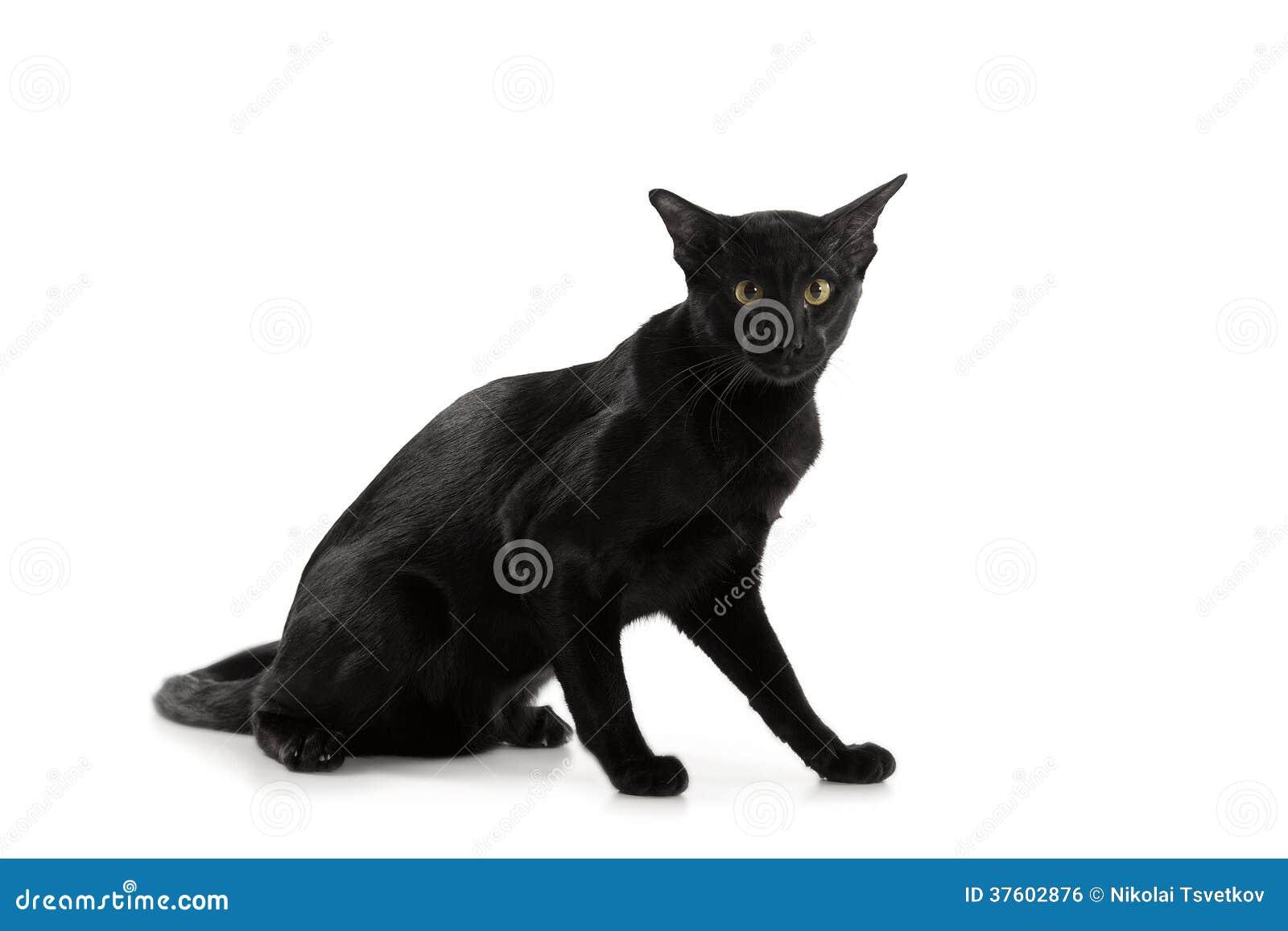 Orientalny Czarny Kot Zdjęcie Stock Obraz Złożonej Z Plecy 37602876