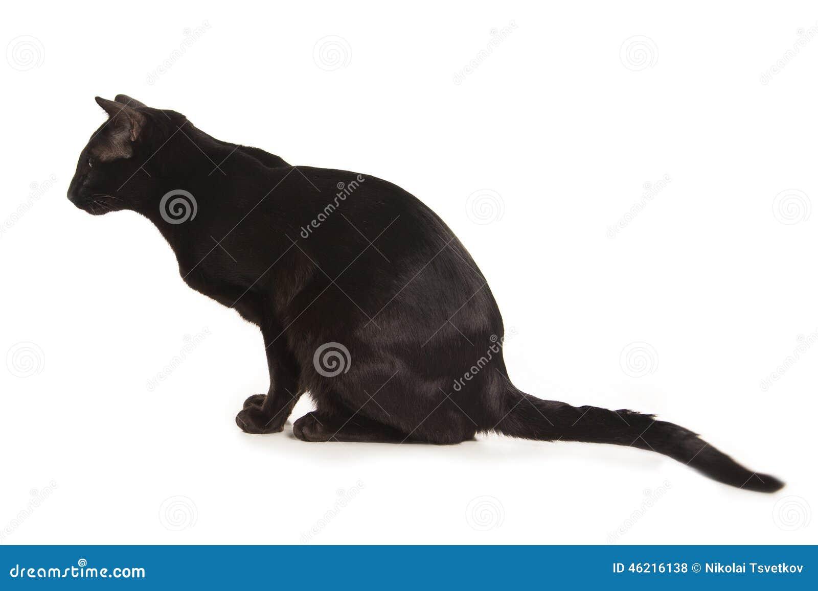 Orientalny Czarny Kot Zdjęcie Stock Obraz Złożonej Z Figlarka