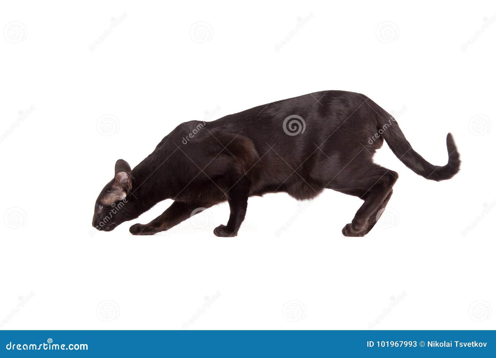 Orientalny Czarny Kot Odizolowywający Nad Białym Tłem Obraz Stock